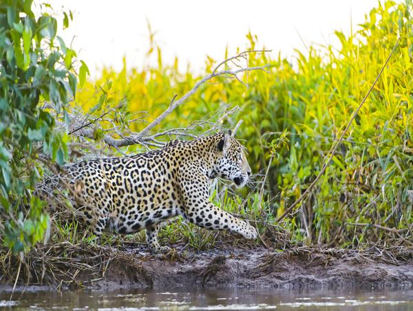 Pantanal - Época de Jaguar